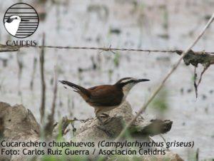 Cucarachero chupahuevos